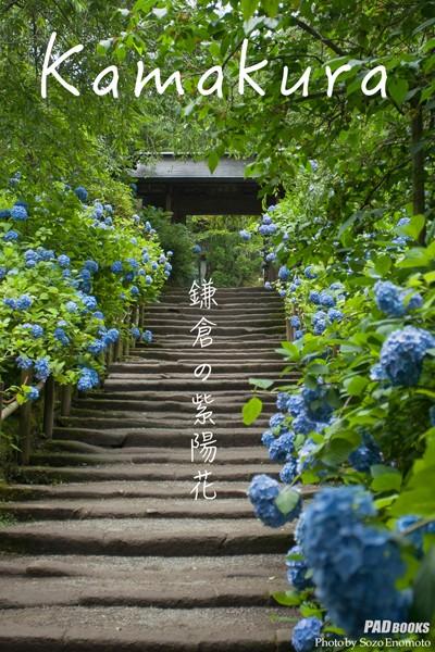 kamakura 鎌倉の紫陽花
